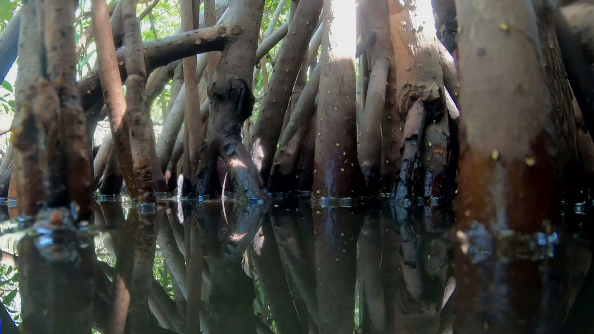 Columbian-mangroves